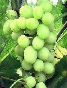 фото Агрус (Лиза) виноград