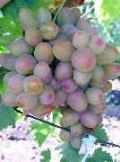 фото Аладдин виноград