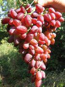 фото Аметист новочеркасский виноград