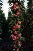 фото яблоки Московское ожерелье (Х-2) сорта, , саженцы и семена