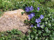 голубые Барвинок (Винка) цветы фото