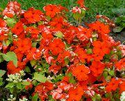 красные Барвинок (Винка) цветы фото