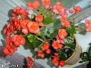оранжевые Бегония вечноцветущая цветы фото