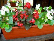 красные Бегония вечноцветущая цветы фото