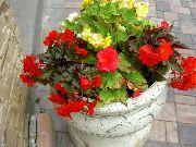 красные Бегония клубневая цветы фото