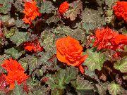 оранжевые Бегония клубневая цветы фото
