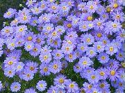 голубые Брахикома цветы фото