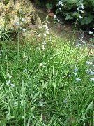 голубые Бримера цветы фото