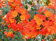оранжевые Броваллия цветы фото