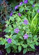 голубые Броваллия цветы фото
