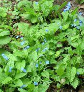голубые Бруннера (Незабудочник) цветы фото
