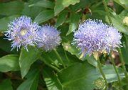 голубые Букашник цветы фото