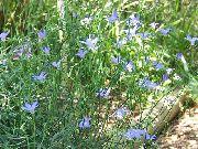 голубые Валенбергия цветы фото