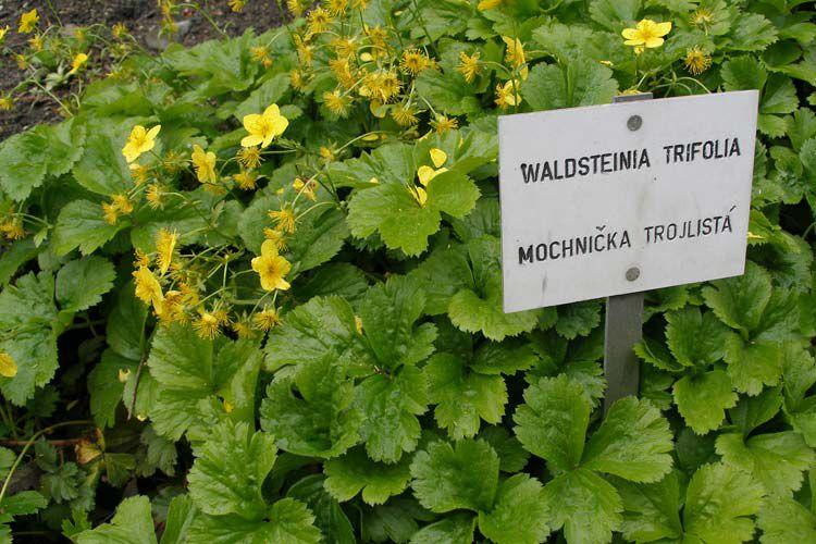 Цветы желтые вальдштейния фото