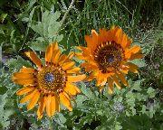 оранжевые Венидиум пышный (Арктотис) цветы фото