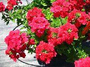 красные Вербена гибридная цветы фото