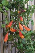 оранжевые Вислоплодник цветы фото