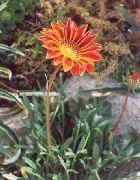оранжевые Газания цветы фото