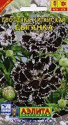 черные Гвоздика китайская цветы фото