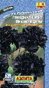 черные Гвоздика Шабо цветы фото