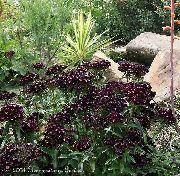 черные Гвоздика турецкая цветы фото