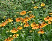 оранжевые Гелениум осенний цветы фото