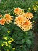 оранжевые Георгина цветы фото