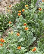 оранжевые Глауциум цветы фото