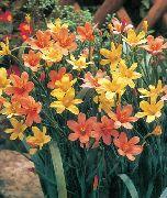 оранжевые Гомерия цветы фото