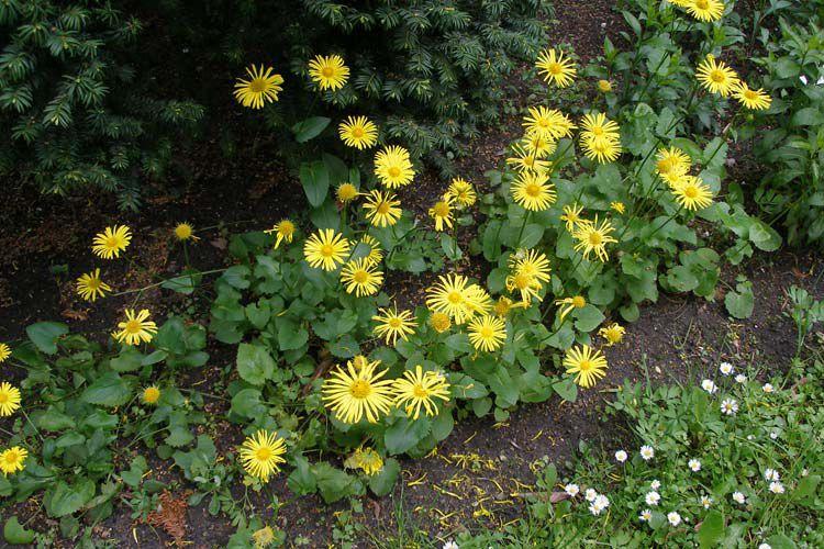 Цветы желтые дороникум австрийский