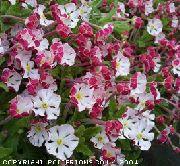 фото Залузианския садовые декоративные цветы