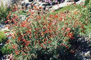 фото Заушнерия садовые декоративные цветы