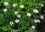 фото Звездчатка ланцетовидная садовые декоративные цветы