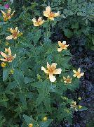 фото Зверобой большой садовые декоративные цветы