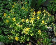 фото Зверобой олимпийский садовые декоративные цветы