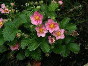 фото Земляника декоративная садовые декоративные цветы