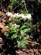 фото Зимолюбка садовые декоративные цветы