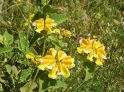 фото Зопник садовые декоративные цветы