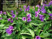 фото Зубянка (Дентария) садовые декоративные цветы