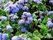 голубые Агератум цветы фото