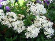 фото Агератум садовые декоративные цветы