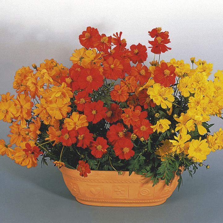 Фото декоративные садовые цветы