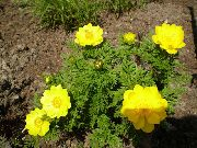 фото Адонис сибирский садовые декоративные цветы