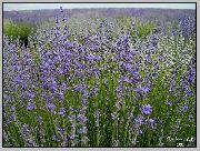 фото Лаванда узколистная садовые декоративные цветы