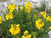 фото Лакфиоль (Хейрантус) садовые декоративные цветы