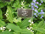 фото Ландыш садовые декоративные цветы