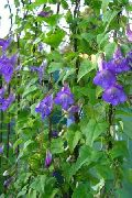 фото Азарина (Маурандия) садовые декоративные цветы