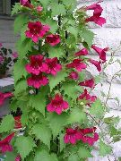 красные Азарина (Маурандия) цветы фото