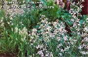 фото Маттиола двурогая (Ночная фиалка) садовые декоративные цветы