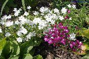 фото Легузия Зеркало Венеры садовые декоративные цветы